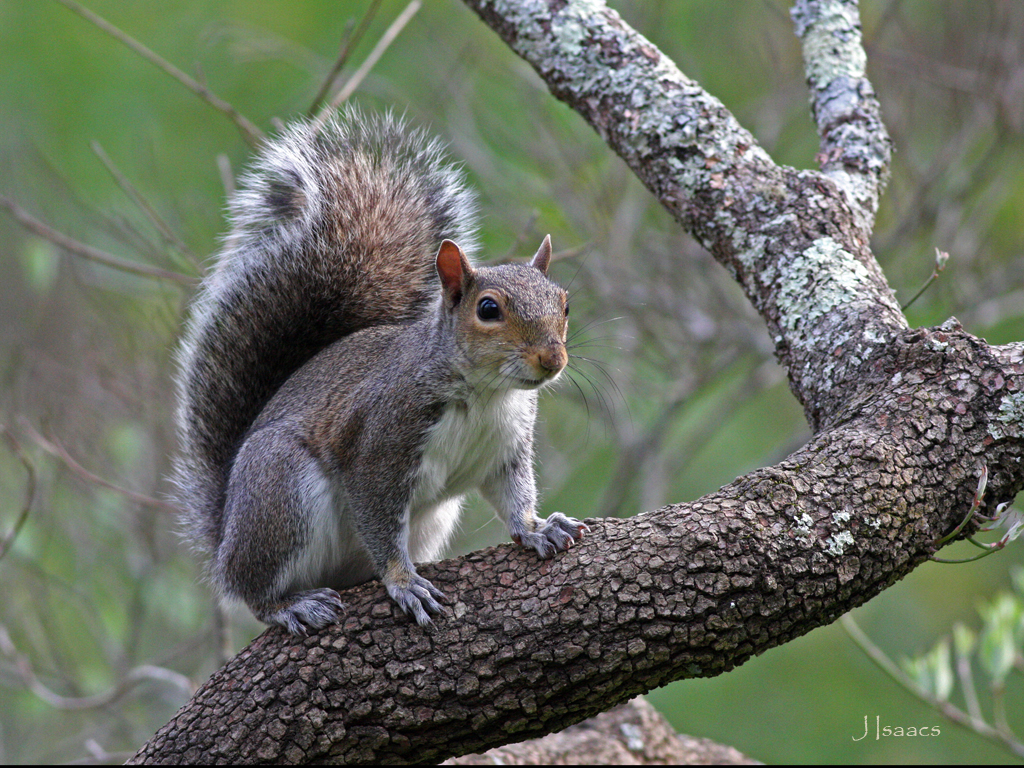 Gray squirrel (© Jim Isaacs, used with permission)