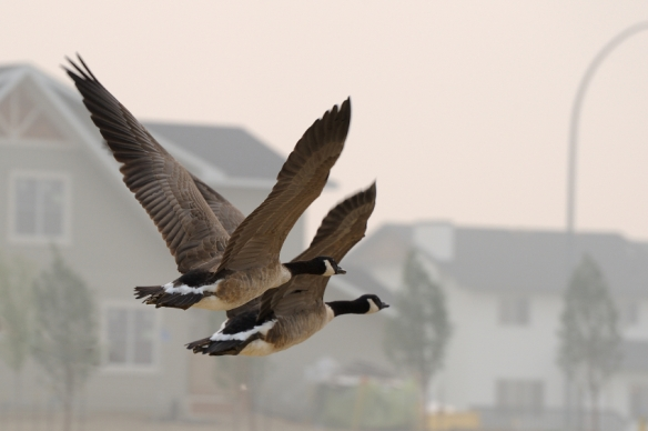 Urban canada geese flying through a neighborhood