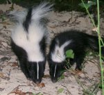 Young striped skunks in north Texas.