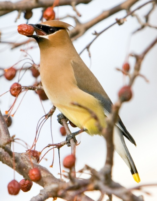 Cedar waxwing feasting on berries