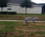 common cranes in florida