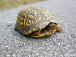female box turtle crossing a road