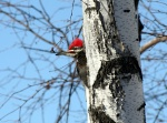 Pileated woodpecker behind a tree trunk.