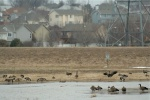 Canada Geese at RumseyStation in Omaha, Nebraska, USA