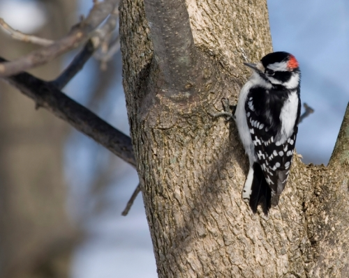 Male downy woodpecker (Picoides pubescens)