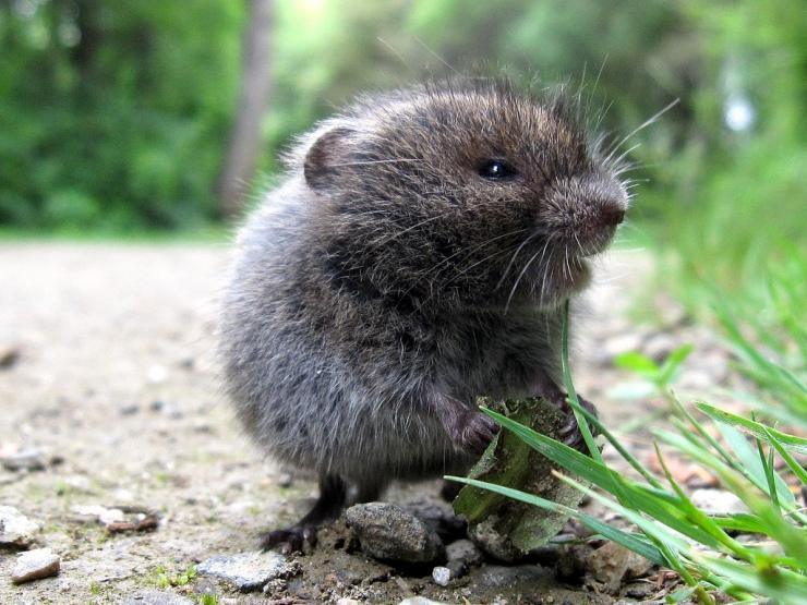 meadow vole by manual crank