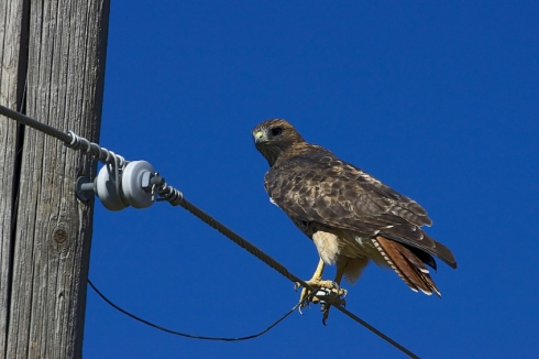Red-tailed hawk on a power line.