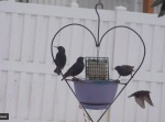 Starlings at a heart feeder, St. Louis, Missouri, USA