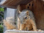 Fox squirrel at bird feeder in missoula MT