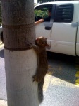 young fox squirrel at McDonalds drive-thru