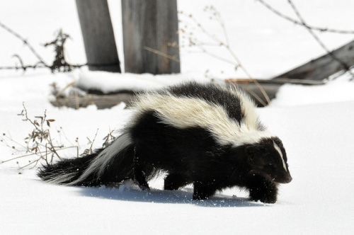 striped skunk in snow by Dan Dzurisin