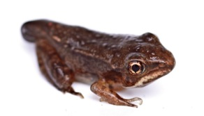 wood frog metamorphosing