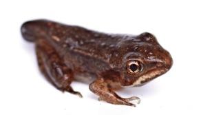 wood frog metamorphosing
