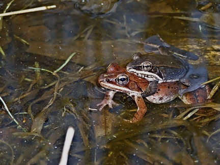 wood frogs in amplexis