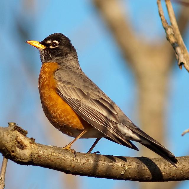 American Robin | Next-Door Nature American Robin Bird
