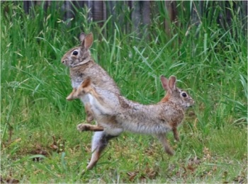 cottontail courtship 2