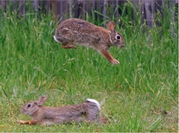 cottontail courtship