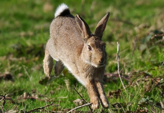 cottontail leaping
