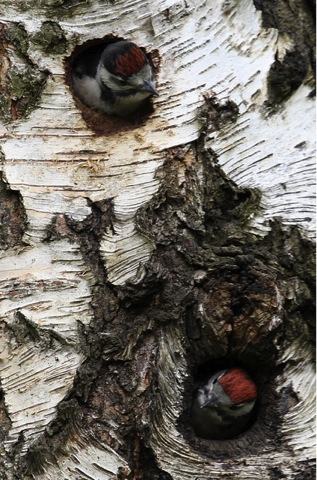 great spotted woodpecker nestlings