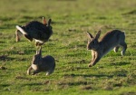 leaping cottontails