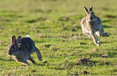 racing cottontails