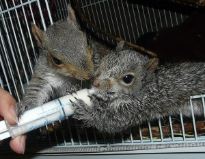 young squirrels in rehab