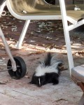 striped skunk on a patio