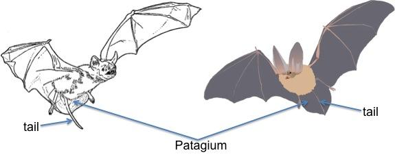 bat tails