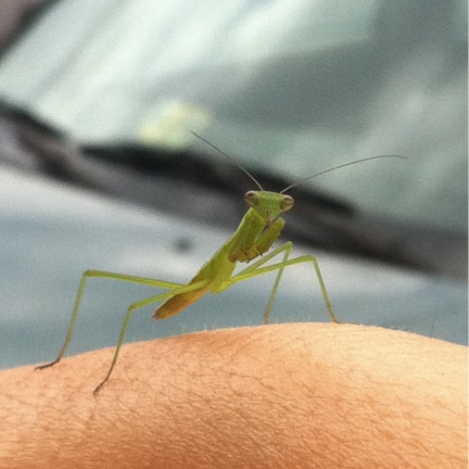 praying mantis nymph