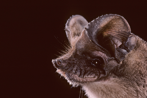 Mexican free-tailed bats | Next-Door Nature
