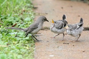 Adult northern mockingbird and two fledglings