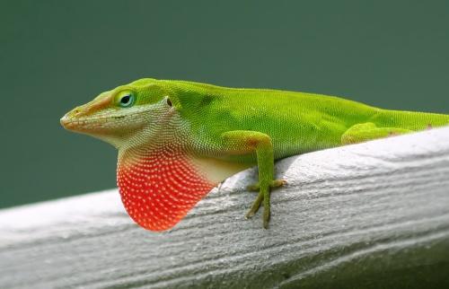 male green anole
