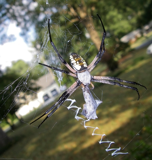writing spider with prey, Alan Howell © 2011 used with permission