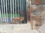 red fox vixen at a UK concrete plant
