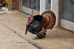 tom turkey at a gas station in New Jersey, USA by rickynj