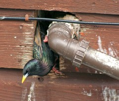 European starling exiting a pipe gap