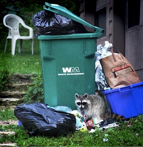 foraging raccoon by Kara Allyson CC