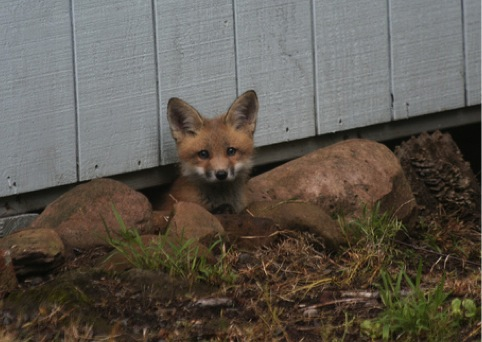 fox under shed