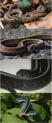 color and pattern variation in garter snakes