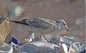 herring gull at landfill by Jerry Oldenettel cc