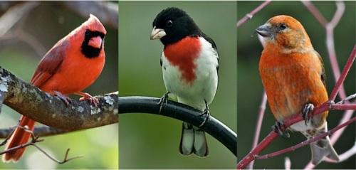 cardinal-grosbeak-crossbill