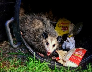 opossum foraging in a trash can