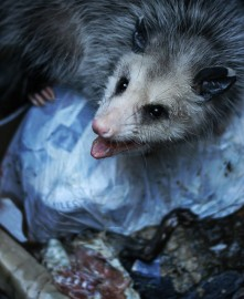 opossum in trash can by Gary Oppenheim cc