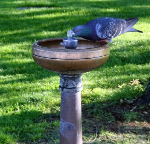 pigeon at a drinking fountain