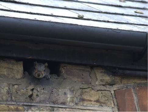 squirrel under the eaves