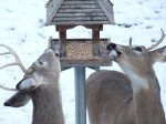 deer eating bird seed by +++CoolValley+++ cc
