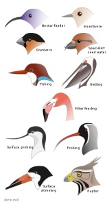 Bird Beaks by Shyamal and Jeff Dahl, CC