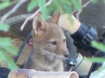 coyote pup by pauly4560 cc