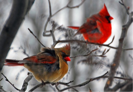 him and her cardinals by Steve Wall cc