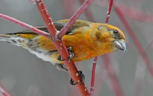 red crossbill by eugene beckes cc